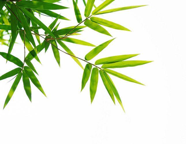 Se le reconoce también por sus hojas de color verde intenso