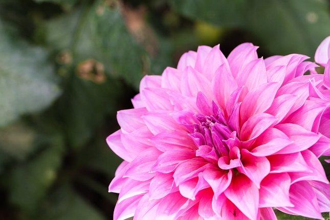 El nombre de la dalia viene en honor al botánico sueco Anders Dahl