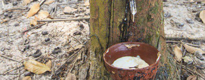 El látex se extrae del árbol Hevea brasiliensis