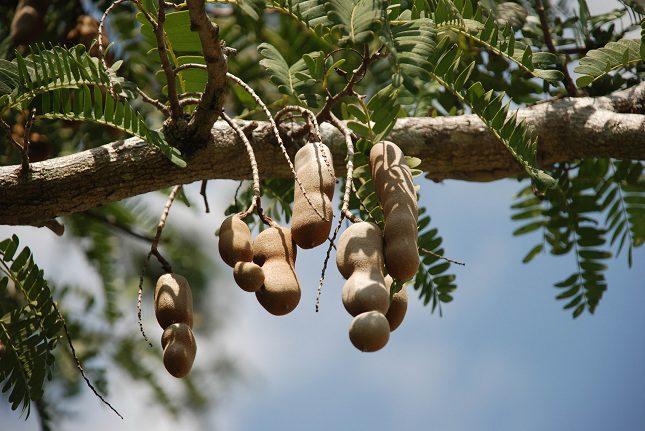 El tamarindo es una fuente excelente en antioxidantes