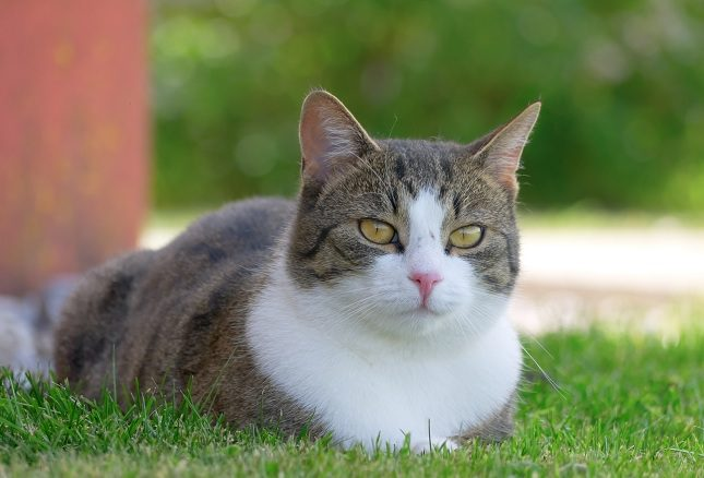 La infección provocada por el arañazo del gato suele ser leve