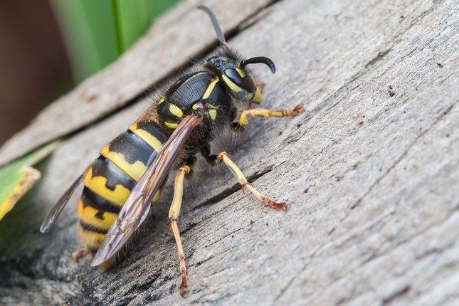 La picadura de una avispa velutina produce una inflamación bastante grande