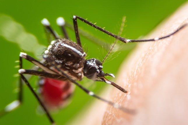 La hembra de esta especie de mosquitos es la que pica al ser humano