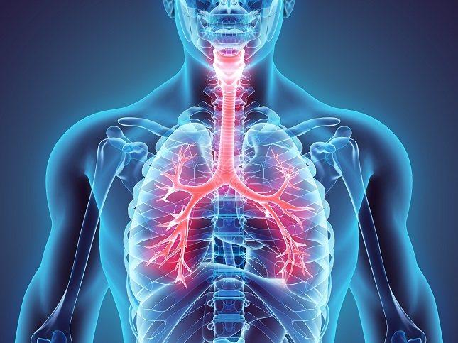 Los bronquios están formados por músculos lisos con paredes de cartílago que les dan estabilidad
