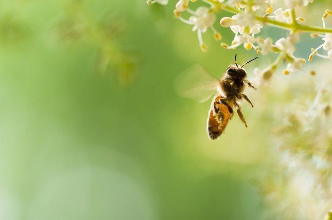Las abejas te dejan en aguijón dentro de la piel