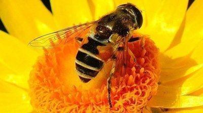 ¿Existen peligros de consumir polen de abeja?