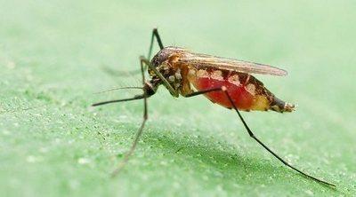 Qué es el virus del chikungunya